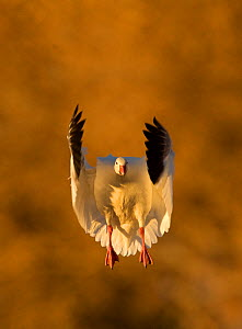 Snow Goose (Chen caerulescens), coming in to land. Bosque del Apache, New Mexico, USA, November. - Danny Green