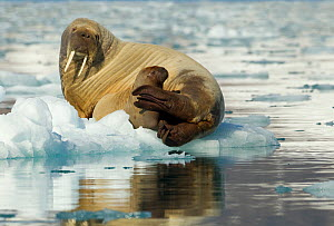 Walrus (Odobenus rosmarus) and young calf resting on ice. Svalbard, Norway, July. - Danny Green