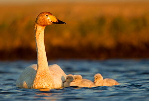 Whooper Swan (Cygnus cygnus) on water with cygnets. Iceland, June. - Danny Green