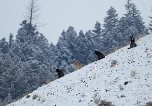 Wolves (Canis lupus) sitting on a hillside in snow. Yellowstone, USA, February. - Danny Green