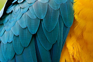 Blue-and-Yellow Macaw (Ara ararauna) close up of feathers. Captive, Brazil, South America. - Mark MacEwen