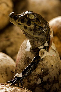 Broad snouted caiman (Caiman latirostris) hatching from egg in nest, Sante Fe, Argentina, February  -  Mark MacEwen