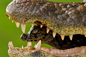 Broad snouted caiman (Caiman latirostris) baby in mothers mouth being carried from the nest, Sante Fe, Argentina, February - Mark MacEwen