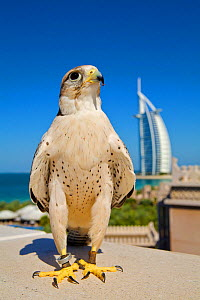 Lanner Falcon (Falco biarmicus) in Dubai with Burj Al Arab in the background, used to control urban pigeon population, Jumeirah Beach. United Arab Emirates (UAE), January 2010  -  Mark MacEwen