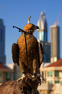 Peregrine Falcon (Falco peregrinus) with hood on perched on falconers hand, on roof top in Dubai city, used to control urban pigeon population, United Arab Emirates (UAE), January 2010  -  Mark MacEwen