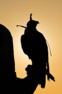 Peregrine Falcon (Falco peregrinus) with hood on perched on falconers hand, against the setting sun, used to control urban pigeon population, United Arab Emirates (UAE).  -  Mark MacEwen