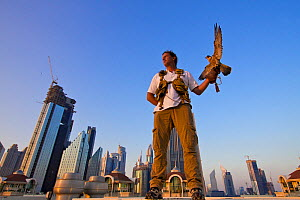 Peregrine Falcon (Falco peregrinus) perched on falconers hand, on roof top in Dubai city, used to control urban pigeon population, United Arab Emirates (UAE), January 2010  -  Mark MacEwen