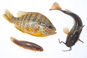 Composite image of American fish species introduced to Europe: Pumpkinseed sunfish (Lepomis gibbosus, left), Brown bullhead (Ameiurus nebulosus, right) and Eastern mudminnow (Umbra pygmaea, under), ph... - Bert Willaert