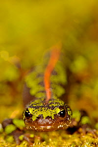 Portrait of a Marbled newt (Triturus marmoratus), Portugal, April. - Bert Willaert