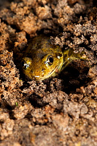 Common spadefoot toad (Pelobates fuscus) digging itself into the soil, Belgium, May. - Bert Willaert