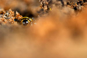 Eye of a Common spadefoot toad (Pelobates fuscus) buried into the soil, Belgium, May. - Bert Willaert