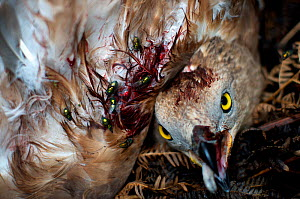 Honey buzzard (Pernis apivorus), wounded and dying after being shot, Georgia, September. - Bert Willaert
