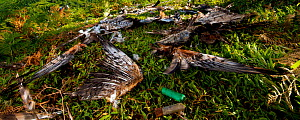 Remnants of a shot Honey buzzard (Pernis apivorus) and a Montagu's Harrier (Circus pygargus), with shotgun cartridges nearby, Georgia, September 2011. - Bert Willaert