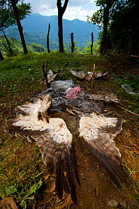 Remnants of a hunting barbeque, with the discarded remains of a Booted eagle (Aquila pennata) and Honey buzzards (Pernis apivorus), Georgia, September 2011. - Bert Willaert