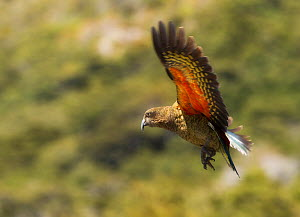 Kea (Nestor notabilis) in flight, Arthur's Pass, New Zealand. Vulberable species. November.  -  Ole Jorgen Liodden