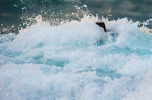 Fiordland crested penguin (Eudyptes pachyrhynchus) in surf near the shore. Westland, New Zealand, Vulnerable species. November. - Ole Jorgen Liodden