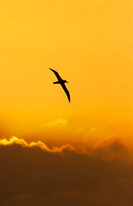Shy Albatross (Thalassarche cauta) in flight against  sunrise sky. Snares Islands, New Zealand. November. November. - Ole Jorgen Liodden