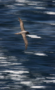 Light-mantled Albatross (Phoebetria palpebrata) in flight, Auckland Islands, New Zealand. November.  -  Ole Jorgen Liodden