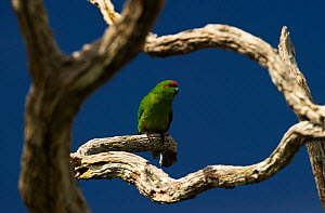 Red-crowned Parakeet (Cyanoramphus novaezelandiae) perched, vulnerable species, Auckland Island, New Zealand. November. - Ole Jorgen Liodden