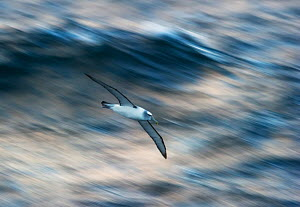 Shy Albatross (Thalassarche cauta) in flight, Auckland Islands, New Zealand. November.  -  Ole Jorgen Liodden