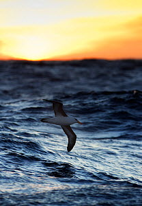 Black-browed Albatross (Thalassarche melanophris) in flight low over ocean near Maquarie Island, Australia. November.  -  Ole Jorgen Liodden