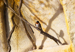 Welcome Swallow (Hirundo neoxena) perched with shadow, Tasmania. December. - Ole Jorgen Liodden