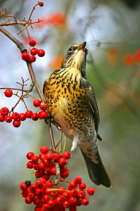 Fieldfare (Turdus pilaris) on branch with berries, Karlskoga, Sweden. January.  -  Bjorn Forsberg