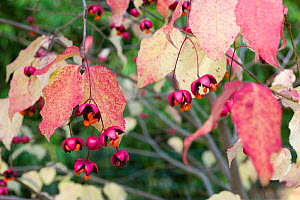 Spindle (Euonymus oxyphyllus) showing the seed cases ejecting seeds, UK October  -  Gary K. Smith