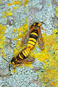 Hornet moths (Sesia apiformis) freshly emerged male and female mating at base of Poplar tree trunk, UK, June - Gary K. Smith