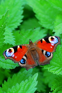 Peacock butterfly (Inachis io) on nettle leaves  -  Colin Varndell
