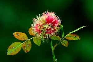 Robin's pincushion gall caused by wasp (Diplolepis roase) on dog rose (Rosa canina). Dorset, UK September 2012 - Colin Varndell