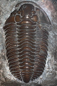 Well preserved fossil of trilobite Dudley locust  (Calymene blumenbachii) from the Silurian period, found in the Wenlock Limestone of Wrens Nest Hill, Dudley, Worcestershire.  -  SINCLAIR STAMMERS