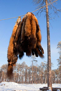 Sable skins hanging up outside at a Selkup hunter's winter camp near Ratta, Krasnoselkup, Yamal, Western Siberia, Russia 2012 - Bryan and Cherry Alexander