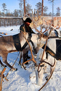 Yura, a Selkup hunter, harnesses his draft reindeer before going to check his traps in the forest, Ratta, Krasnoselkup, Yamal, Western Siberia. Russia 2012 - Bryan and Cherry Alexander