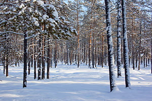Boreal forest (taiga) in winter with snow covered trees near Ratta, Krasnoselkup, Yamal, Western Siberia, Russia 2012 - Bryan and Cherry Alexander