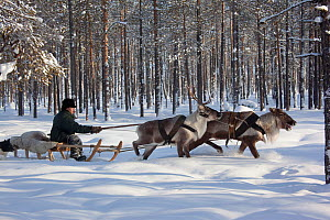 Valery Irkov, a Selkup hunter, travelling in winter through the forest by reindeer sled near Ratta,  Krasnoselkup, Yamal, Western Siberia, Russia 2012 - Bryan and Cherry Alexander