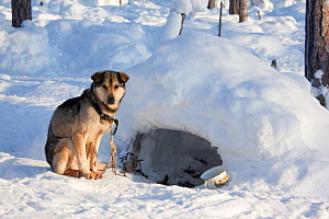 At a Selkup hunter's winter camp in the forest, a Laika dog has an 'igloo' for shelter, Ratta, Krasnoselkup, Yamal, Western Siberia, Russia 2012 - Bryan and Cherry Alexander
