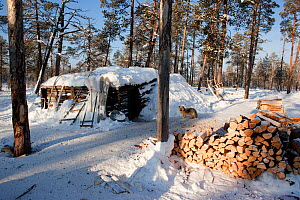 Firewood stacked outside a 'Poymot' (traditional Selkup turf hut) at a winter hunting camp in the forest near Ratta, Krasnoselkup, Yamal, Western Siberia, Russia 2012 - Bryan and Cherry Alexander
