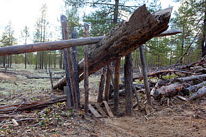 A traditional Selkup 'chang' (deadfall trap) set to catch Capercaille in a forest clearing, Krasnoselkup, Yamal, Western Siberia, Russia - Bryan and Cherry Alexander