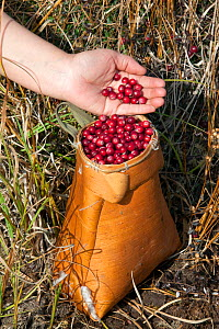 Collecting cranberries (Vaccinium oxycoccos) in a traditional Selkup birch bark basket in the autumn, Krasnolselkup, Yamal, Western Siberia, Russia. - Bryan and Cherry Alexander