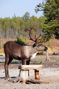 A draught reindeer eating salt from a trough at a Selkup camp in the autumn in boreal forest,  Krasnoselkup, Yamal, Western Siberia, Russia - Bryan and Cherry Alexander