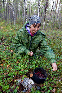 Marina Korgachev, a Selkup woman, picking mountain cranberries / cowberries (Vaccinium vitisidaea) in the forest on an autumn day, Krasnoselkup, Yamal, Western Siberia, Russia - Bryan and Cherry Alexander