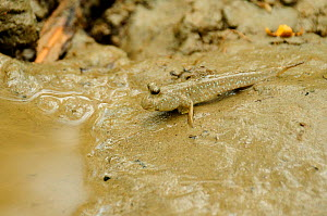 Mudskipper (Periophthalmus) the Sundarbans National Park, the largest mangrove swamp in the world. Bangladesh. UNESCO World Heritage Site. June 2012. - Enrique Lopez-Tapia