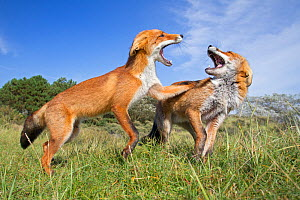 Two Red Foxes (Vulpes vulpes) fighting. The Netherlands~August. - David Pattyn