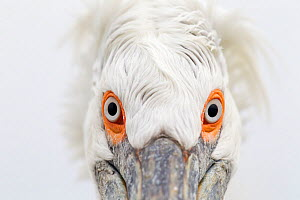 Dalmatian Pelican (Pelecanus crispus)  head on close up  portrait. Lake Kerkini, Greece, March.  -  David Pattyn