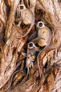 Hanuman / Northern Plains Grey Langur (Semnopithecus entellus) family resting in roots of Banyan tree. Ranthabore National Park, India, June. - David  Pattyn