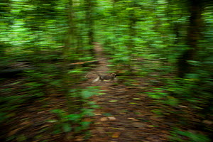 Agile Mangabey moving through forest. Wide shot showing rainforest environment. (Cercocebus agilis). Bai Hokou, Dzanga-Ndoki National Park, Central African Republic - Jabruson
