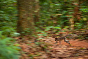 Agile mangabey (Cercocebus agilis) moving across national park access road.  Bai Hokou, Dzanga-Ndoki National Park, Central African Republic - Jabruson