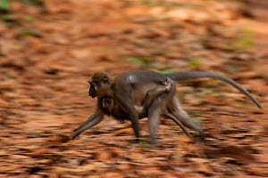 Agile mangabey (Cercocebus agilis) carrying baby, moving across national park access road.  Bai Hokou, Dzanga-Ndoki National Park, Central African Republic - Jabruson
