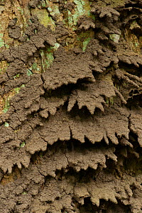 Termite (Macrotermes) nest structure located on tree trunk, mud drainage tips built into the sides of the structure to assist with water run-off during tropical downpours. Bai Hokou, Dzanga-Ndoki Nati...  -  Jabruson